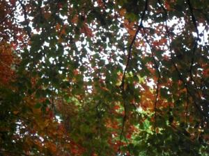 Beech Leaves Botanical Gardens