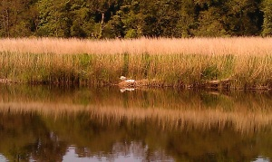 Swans`nest