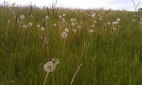 Much maligned dandelion