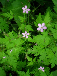 Is this Herb Robert?