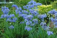 2.I love Alium-Mount Usher Gardens