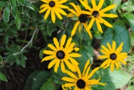 4.Black eyed Susan. I think...