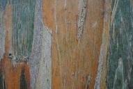 5.Eucalyptus-for my Australian readers