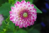 Multipetalled pink