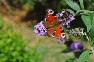 Butterfly Mount Usher