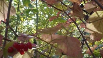 Canopy with red berries