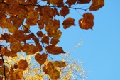 Beech and Blue