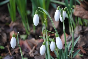 Snowdrops-smooth