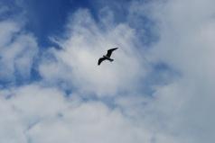 Gull over Bullock Harbour