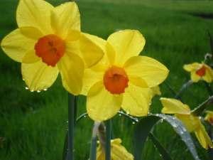 Narcissii