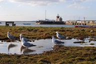 Gulls Howth Harbour
