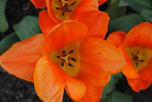 Tulipa Orange Emperor
