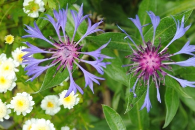 5.Perennial Cornflower