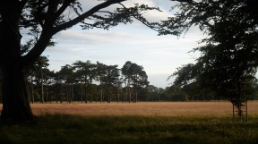 A grove of Scots' Pine