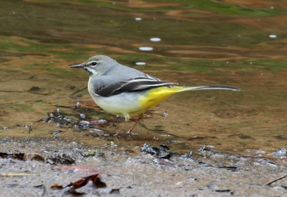 Grey Wagtail Source: crowboroughcommon.org