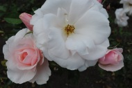 Rosa Many Happy Returns