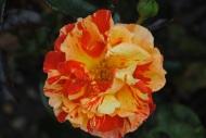 Rosa Oranges and Lemons