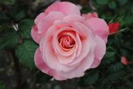 Rosa Sexy Rexy