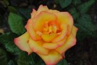 Rosa Sheila's Perfume