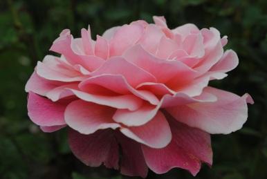 Rosa Tickled Pink